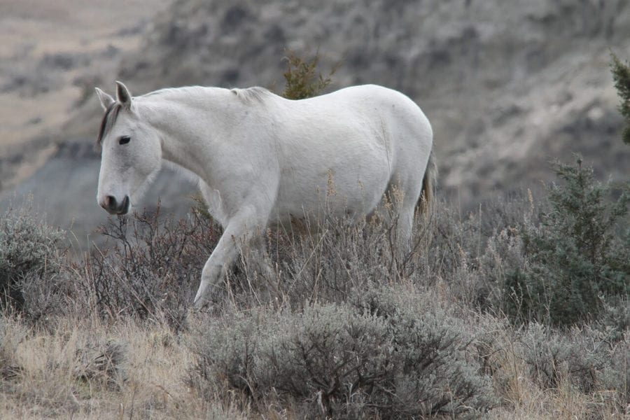 wild-horse-1305739_1280 (1)
