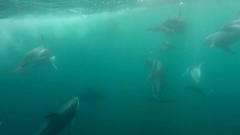 Pod of Dolphins in Kaikoura